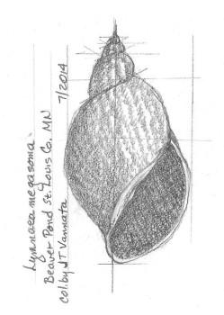 Lymnaea megasoma