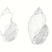 Lymnea megasoma sketches 2B Mars Staedtler pencil on Strathmore paper